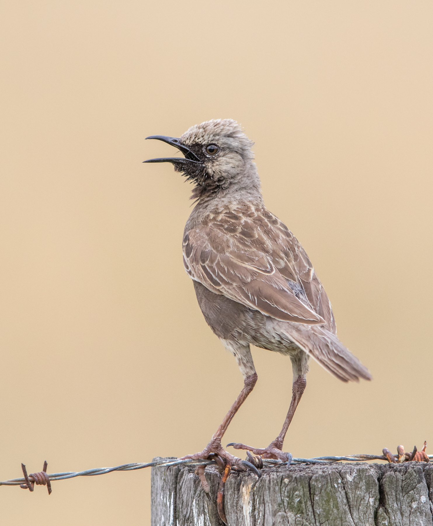 Brown Songlark (Image ID 34859)