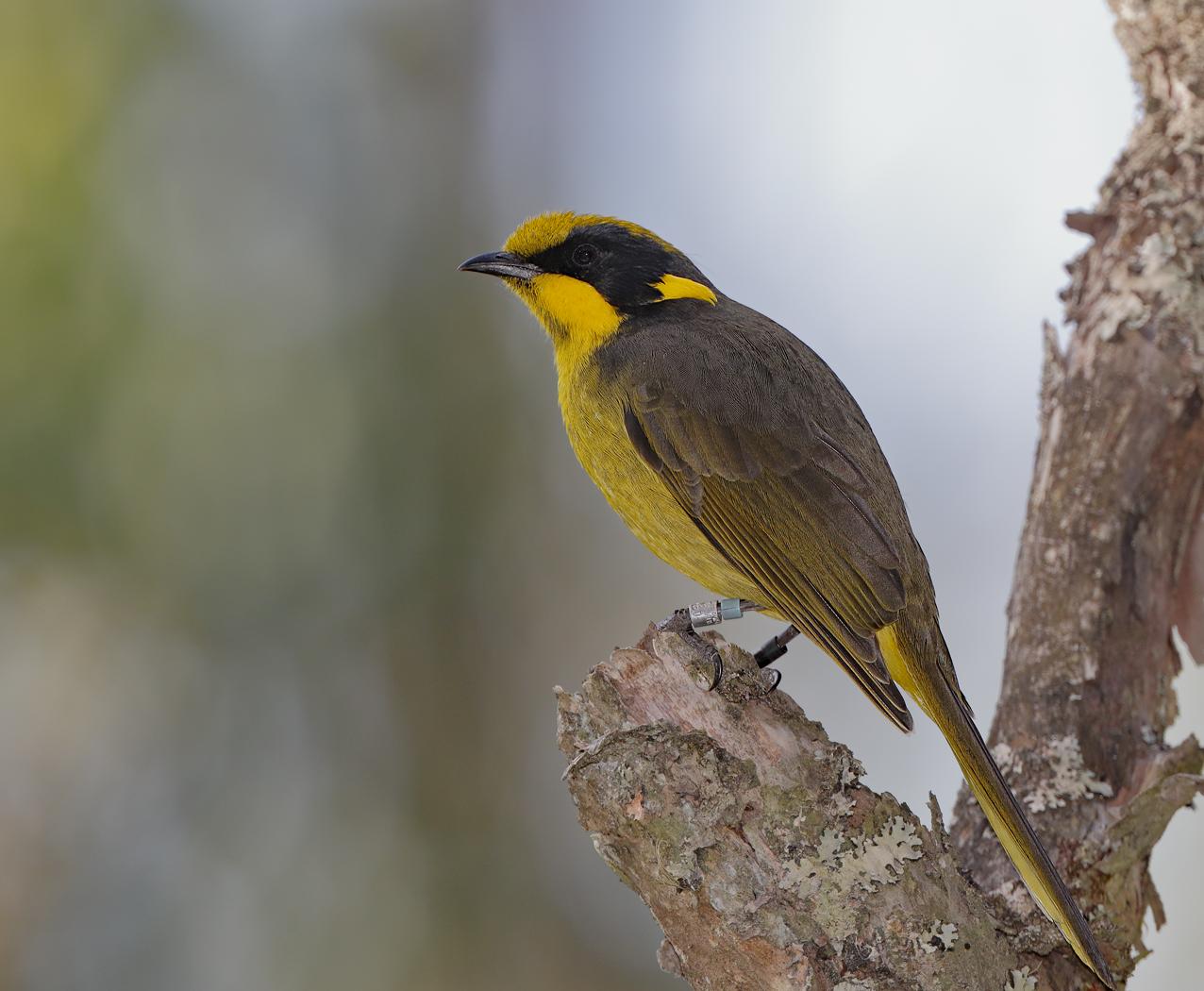 Yellow-tufted Honeyeater (Image ID 34825)