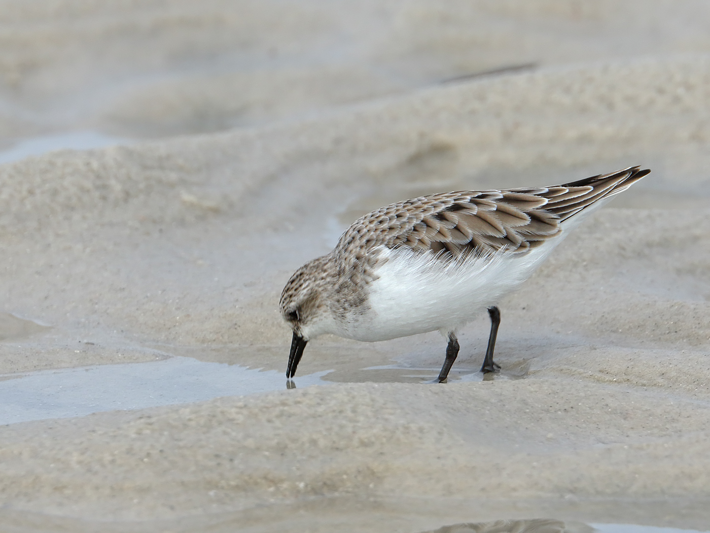 Red-necked Stint (Image ID 34864)