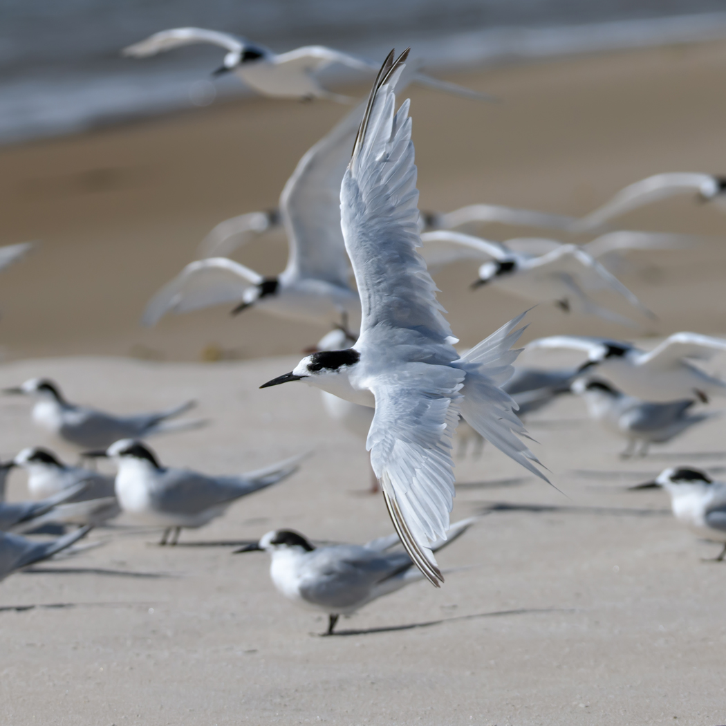 White-fronted Tern (Image ID 35049)