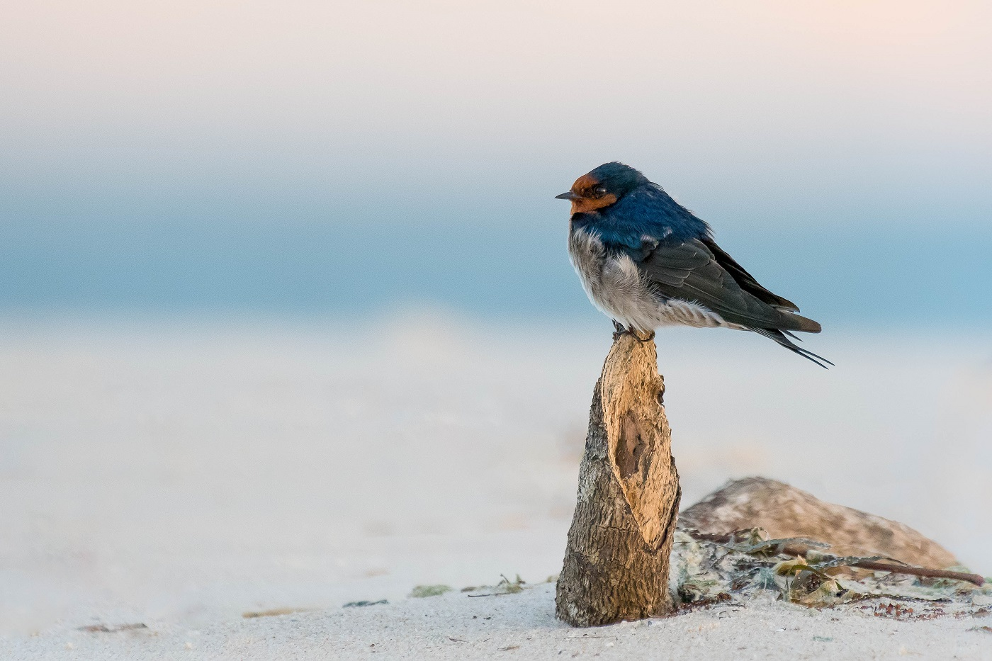 Welcome Swallow (Image ID 35034)