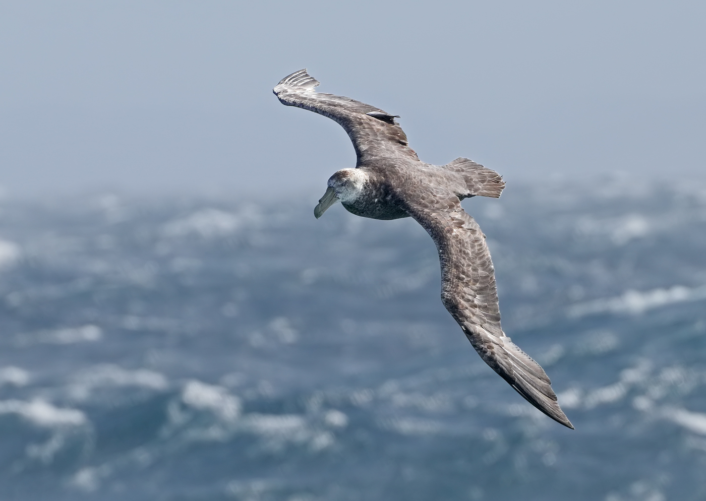 Southern Giant-Petrel (Image ID 34863)