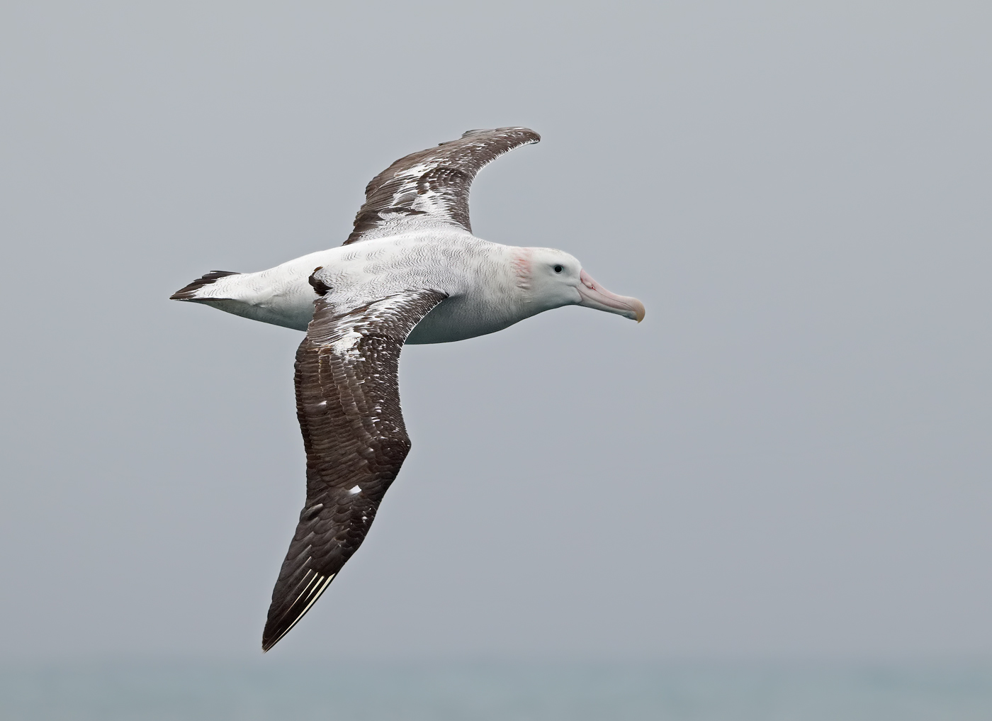 Wandering Albatross (Image ID 34686)