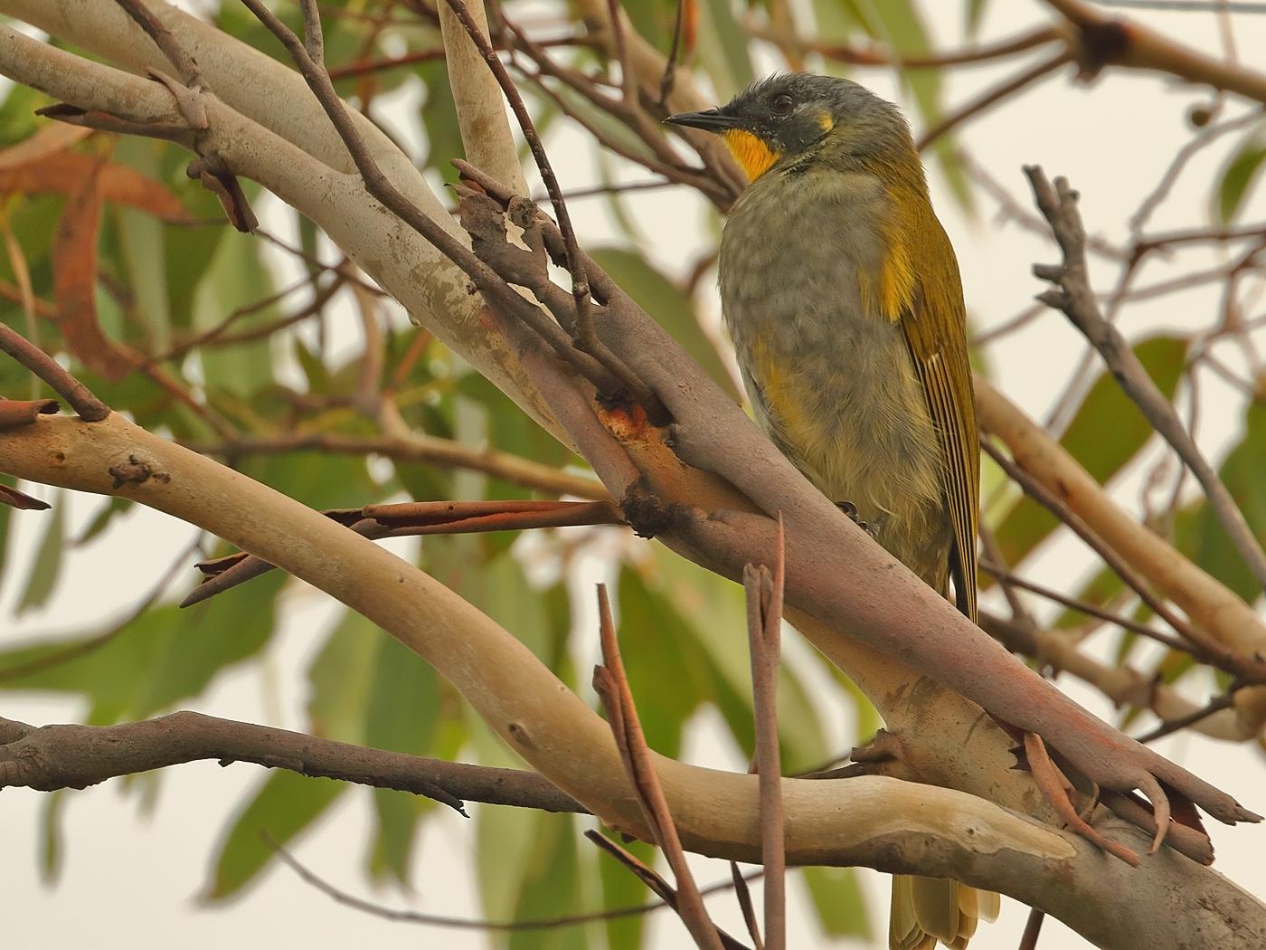 Yellow-throated Honeyeater (Image ID 34872)