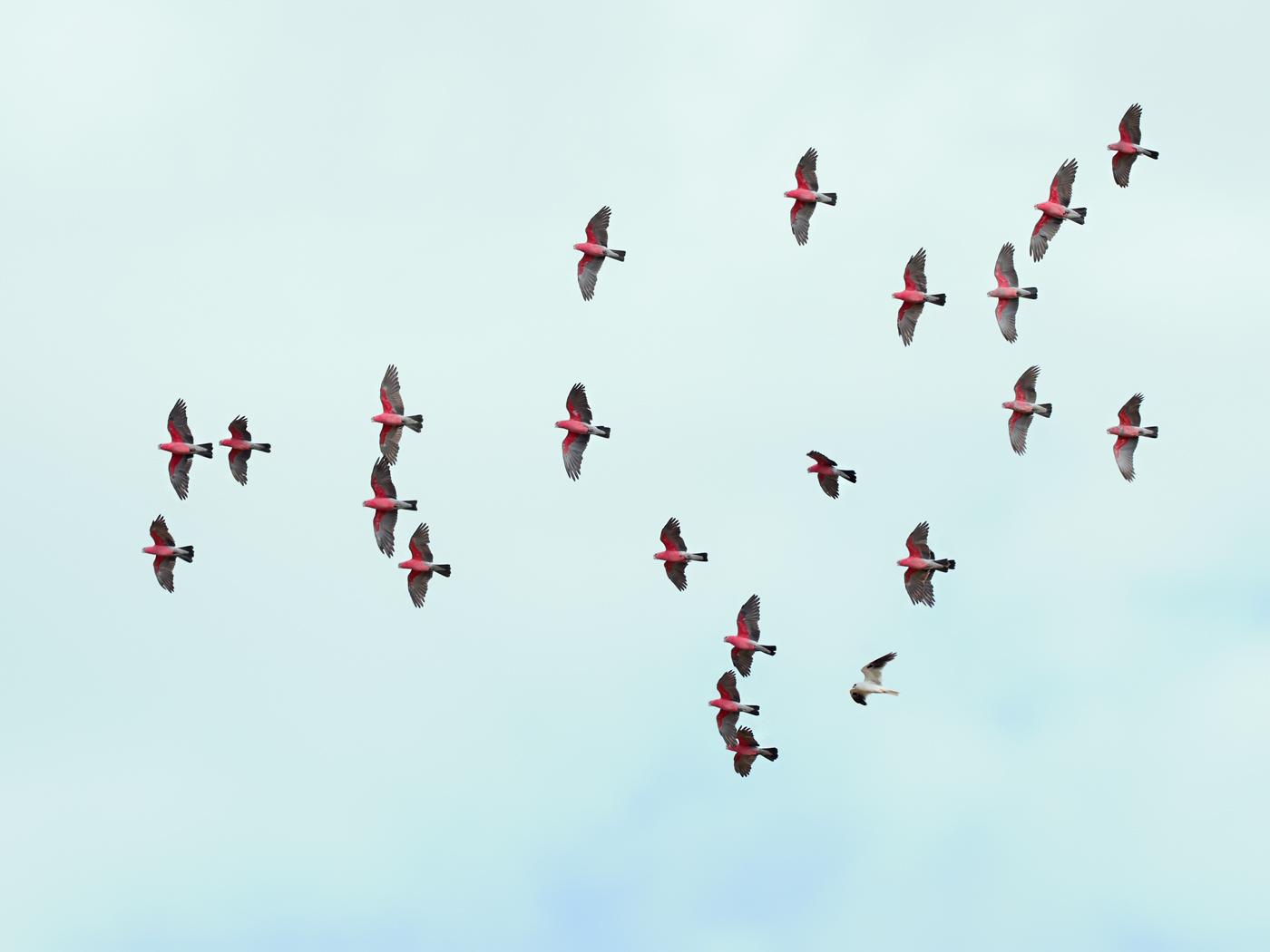Black-shouldered Kite, Galah (Image ID 34808)