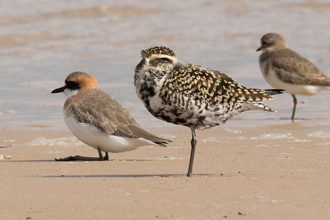Greater Sand Plover, Pacific Golden Plover (Image ID 34715)