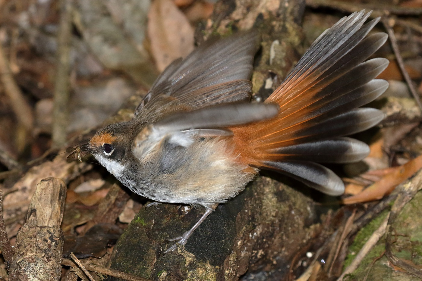 Rufous Fantail (Image ID 34742)