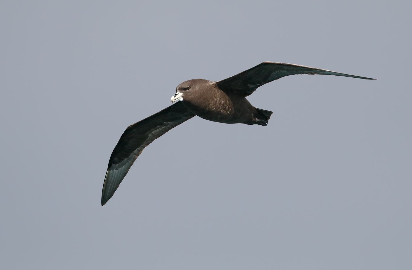 White-chinned Petrel (Image ID 34803)