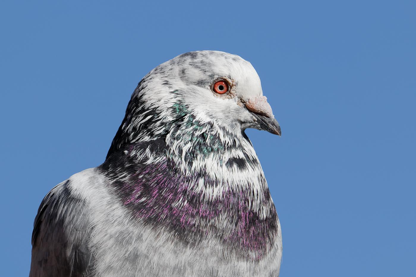 Rock Dove (Image ID 34771)