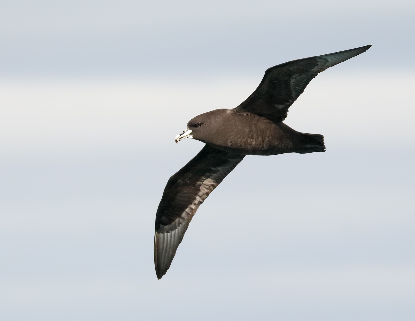 White-chinned Petrel (Image ID 34805)