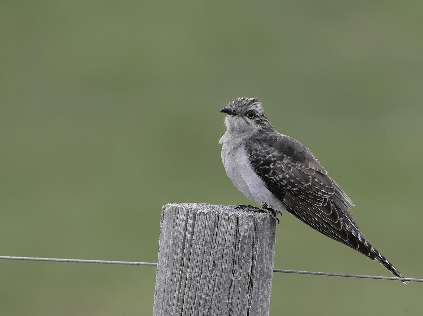 Pallid Cuckoo (Image ID 35072)