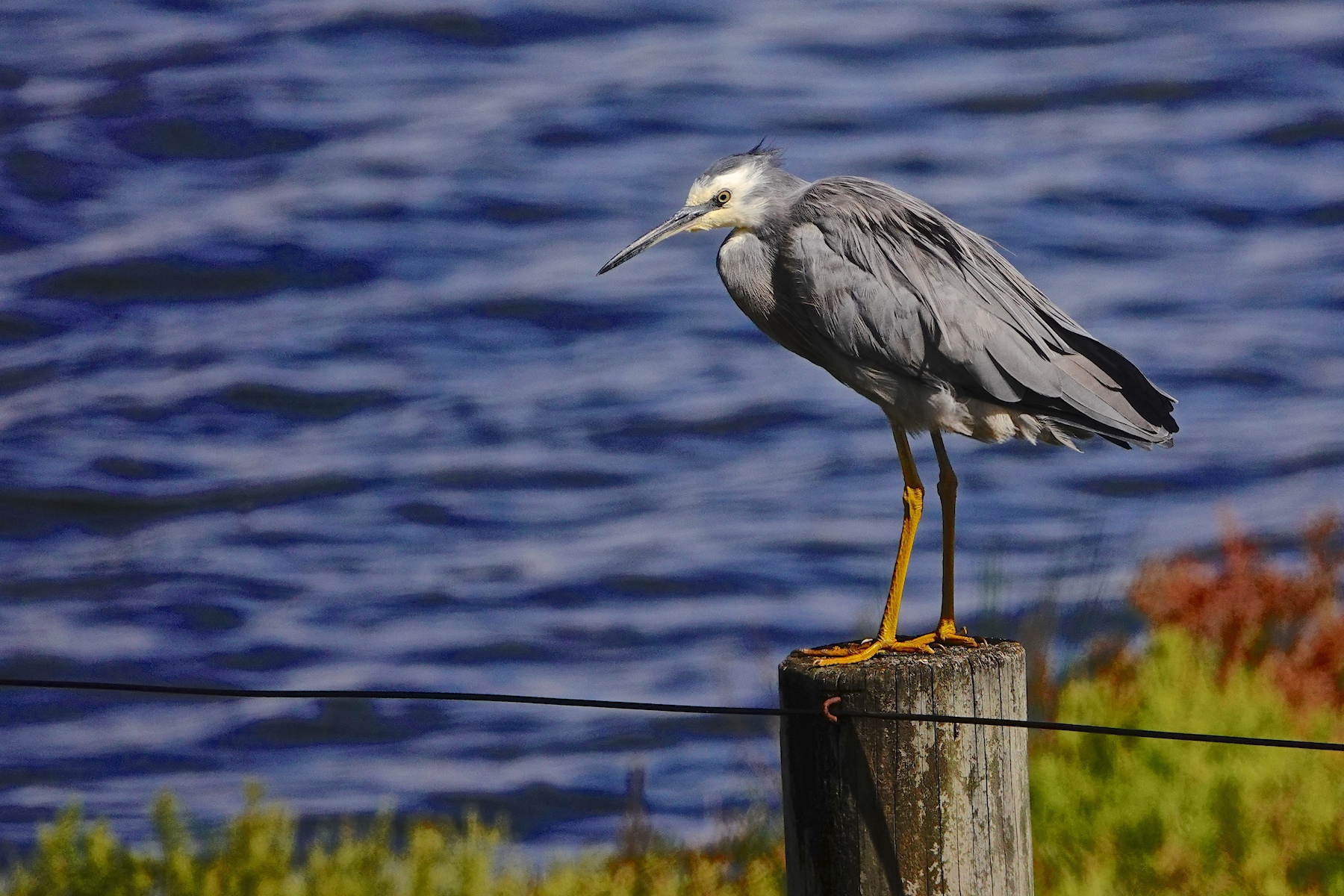 White-faced Heron (Image ID 35030)