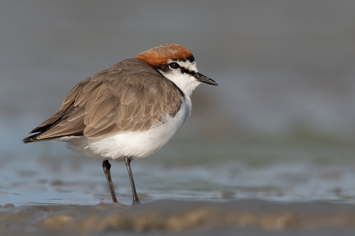 Red-capped Plover (Image ID 34961)