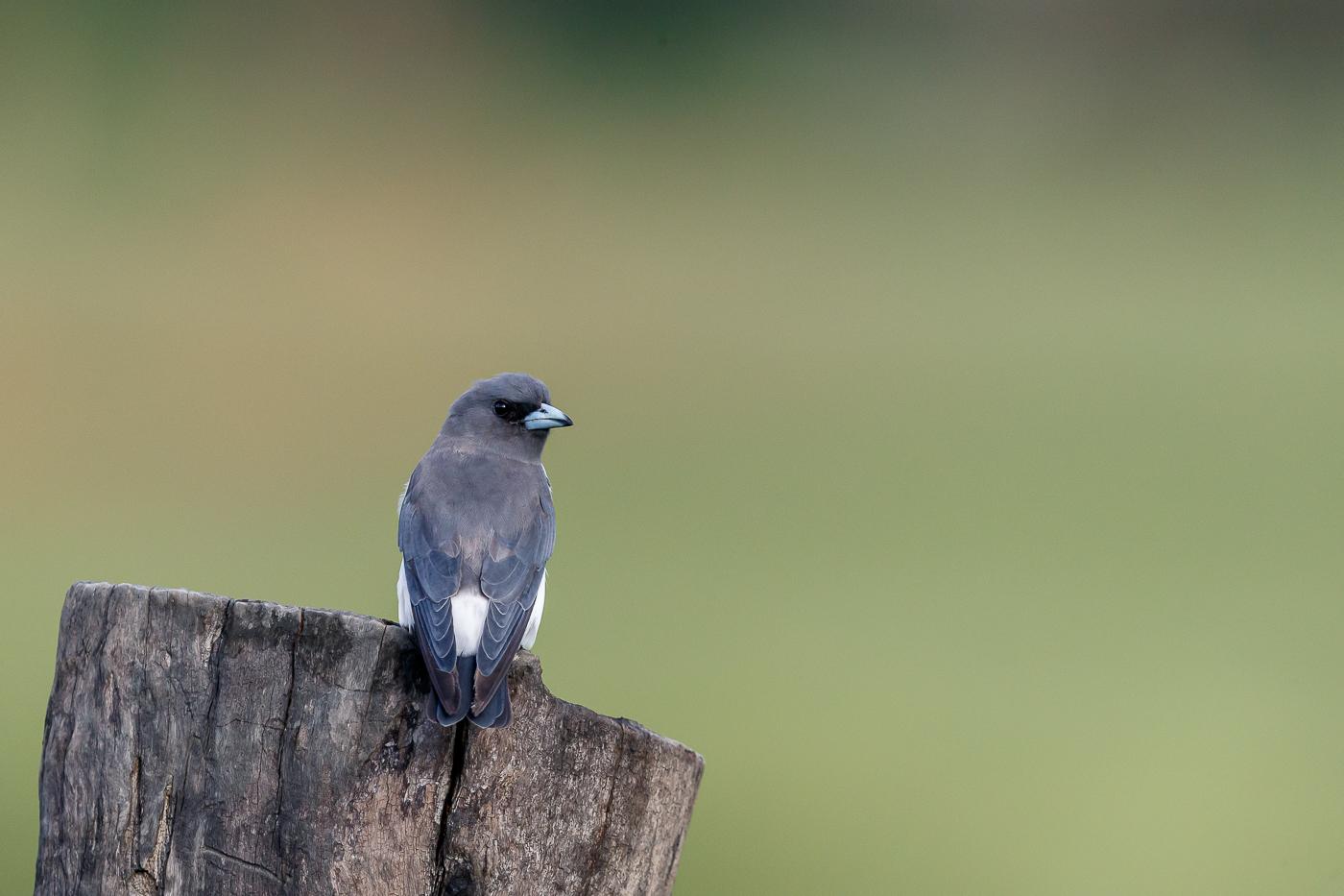 White-breasted Woodswallow (Image ID 34793)