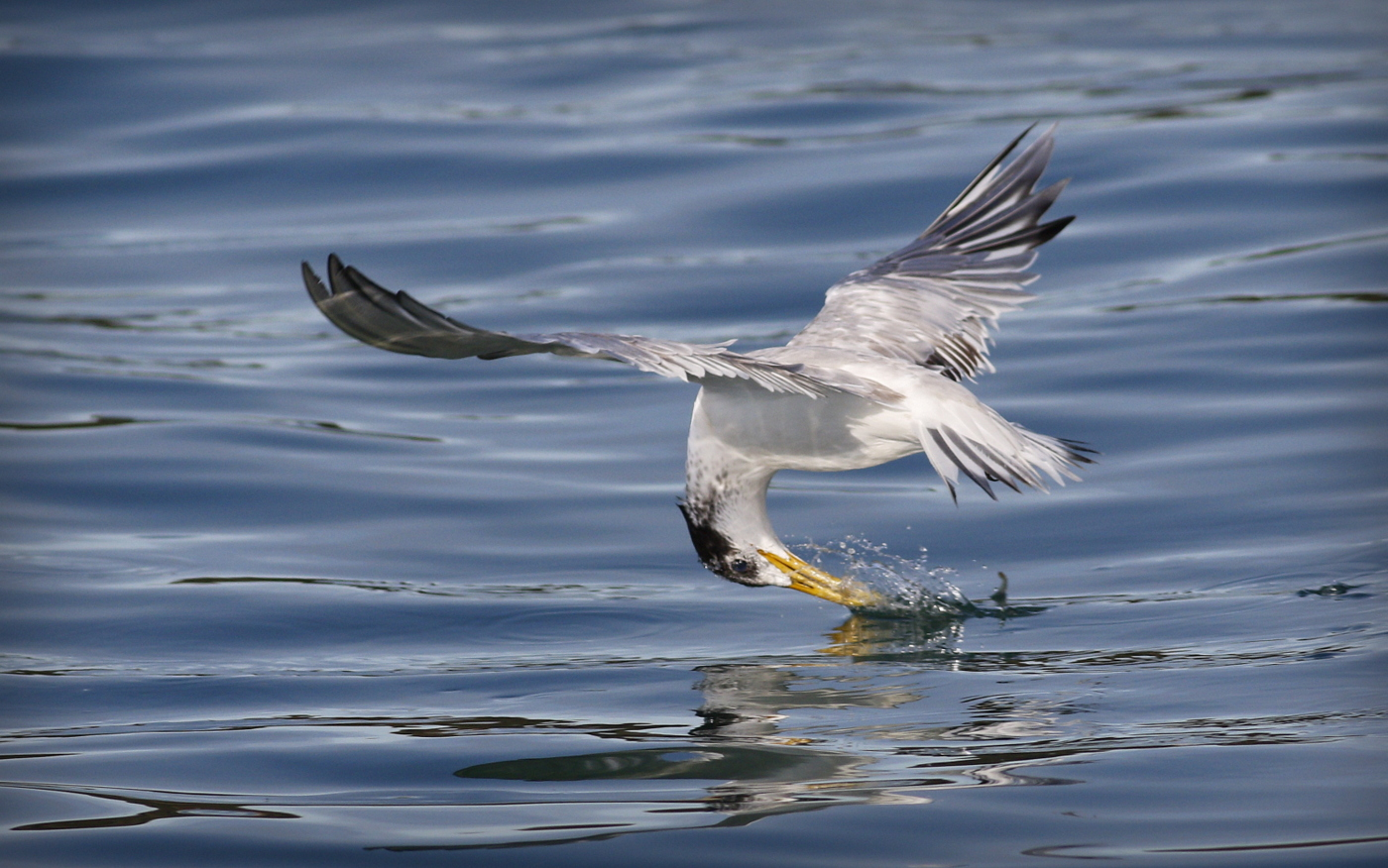 Crested Tern (Image ID 35077)