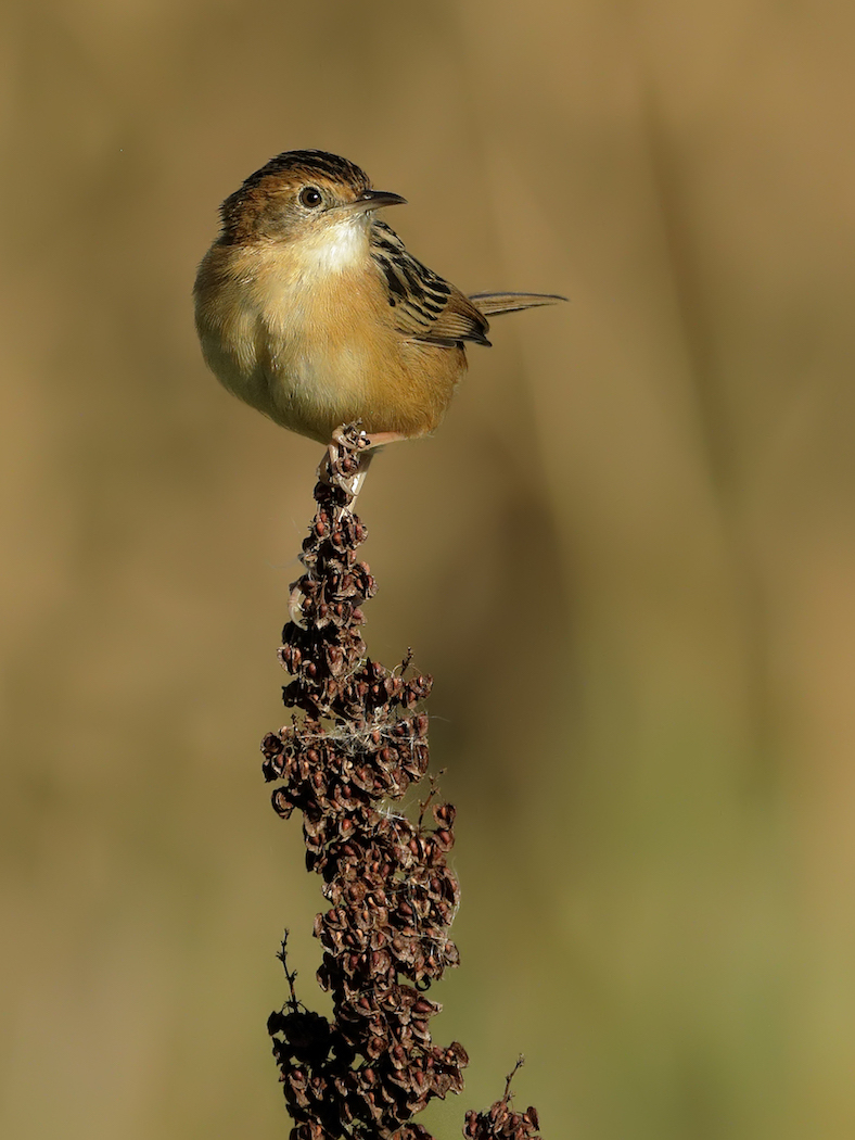 Golden-headed Cisticola (Image ID 34968)