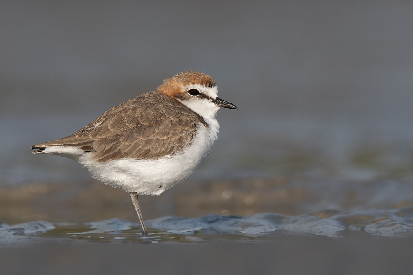 Red-capped Plover (Image ID 34962)