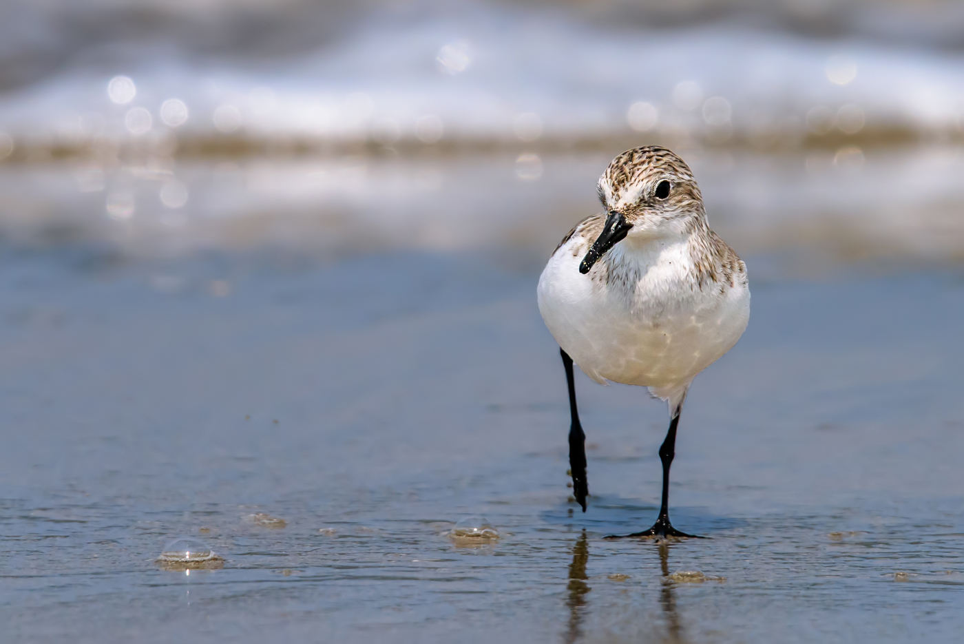 Red-necked Stint (Image ID 34973)