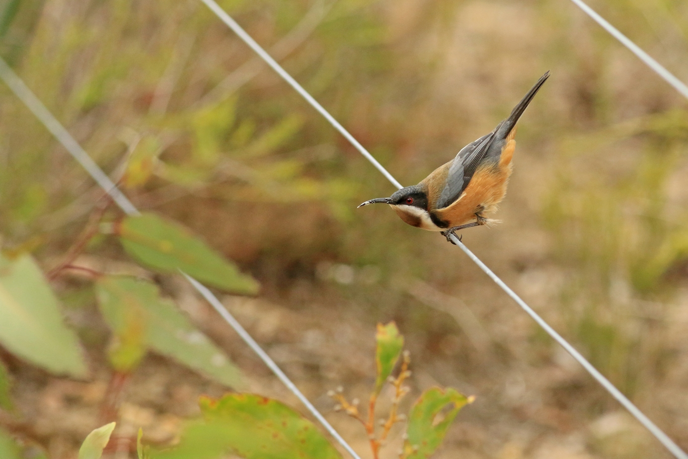 Eastern Spinebill (Image ID 34873)