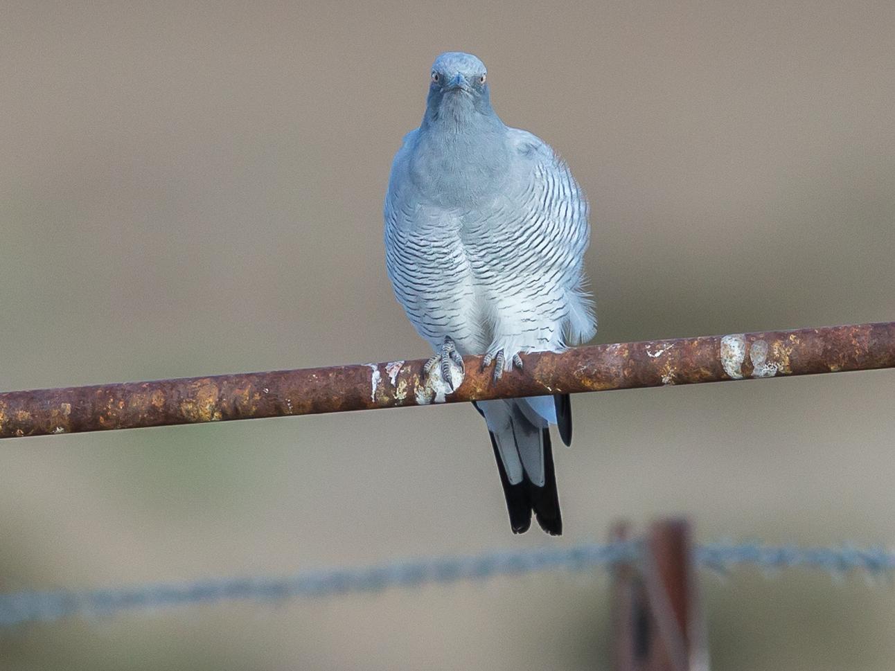 Ground Cuckoo-shrike (Image ID 35010)