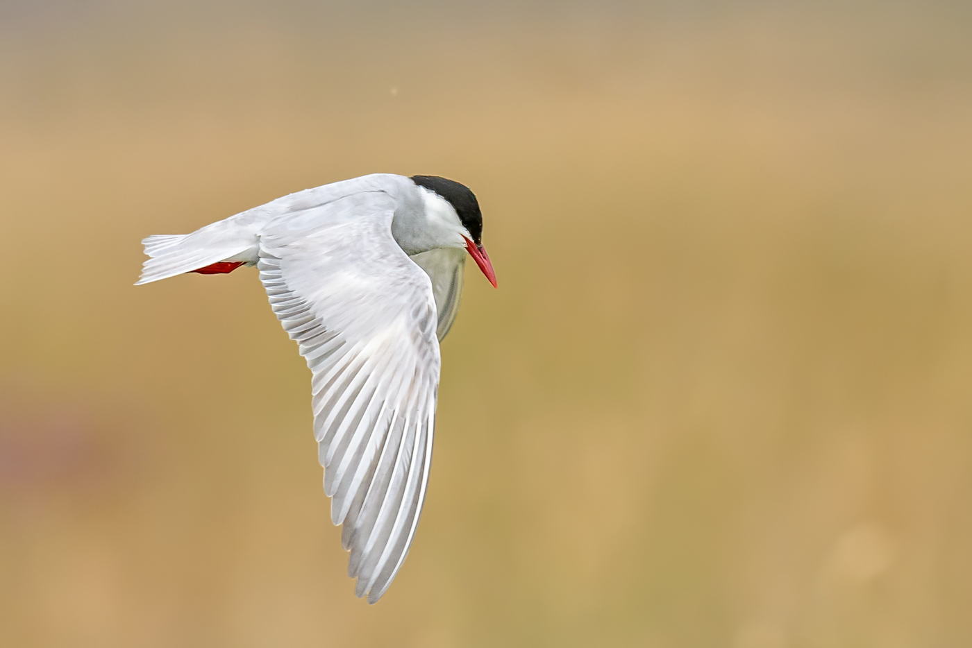 Whiskered Tern (Image ID 34966)