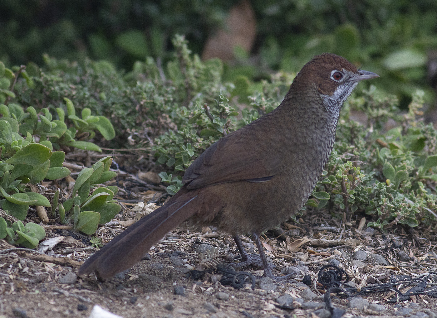 Rufous Bristlebird (Image ID 35046)