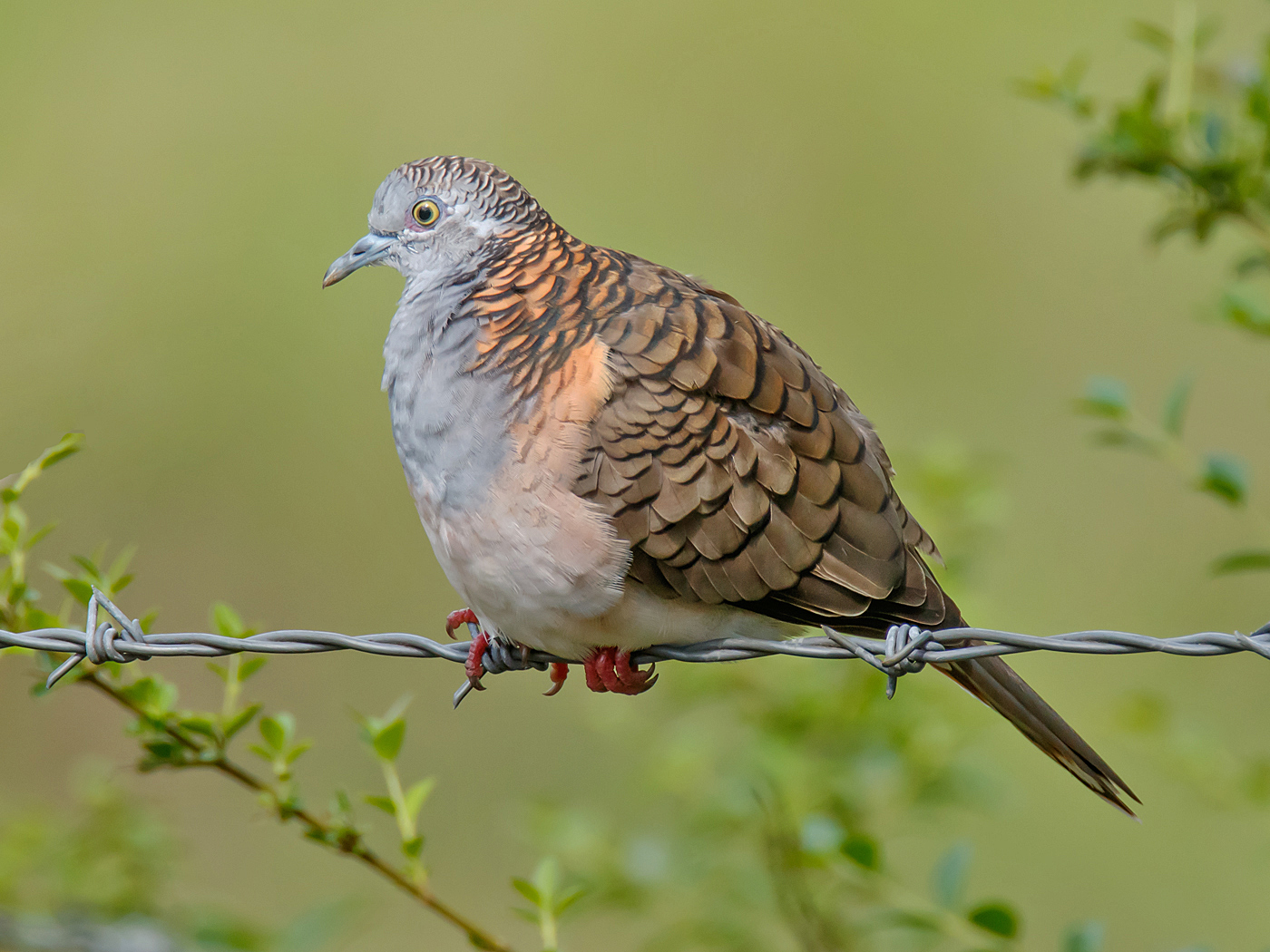 Bar-shouldered Dove (Image ID 34681)