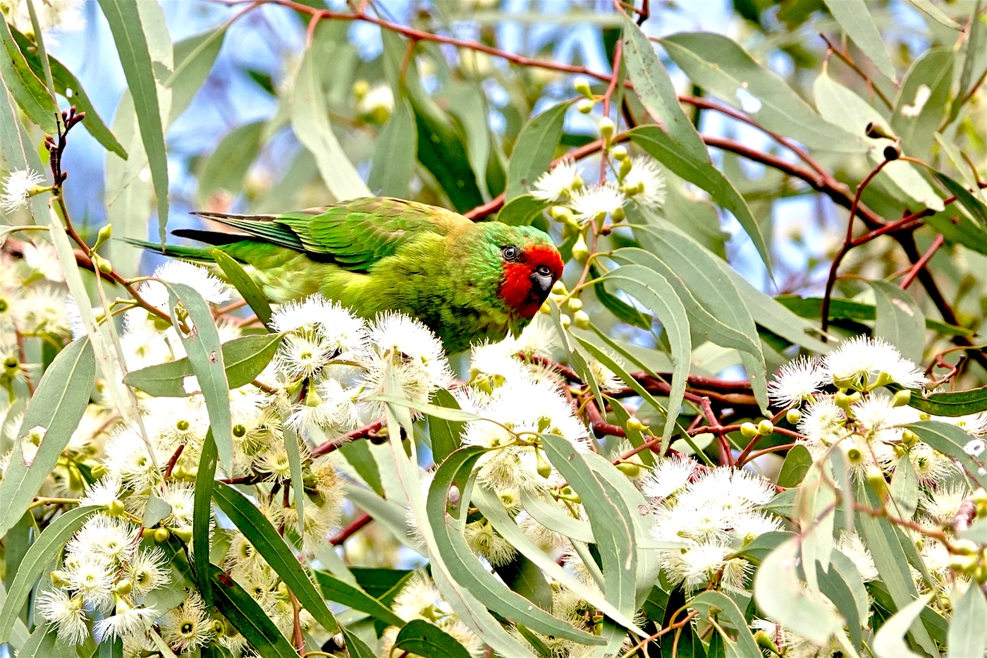 Little Lorikeet (Image ID 35252)
