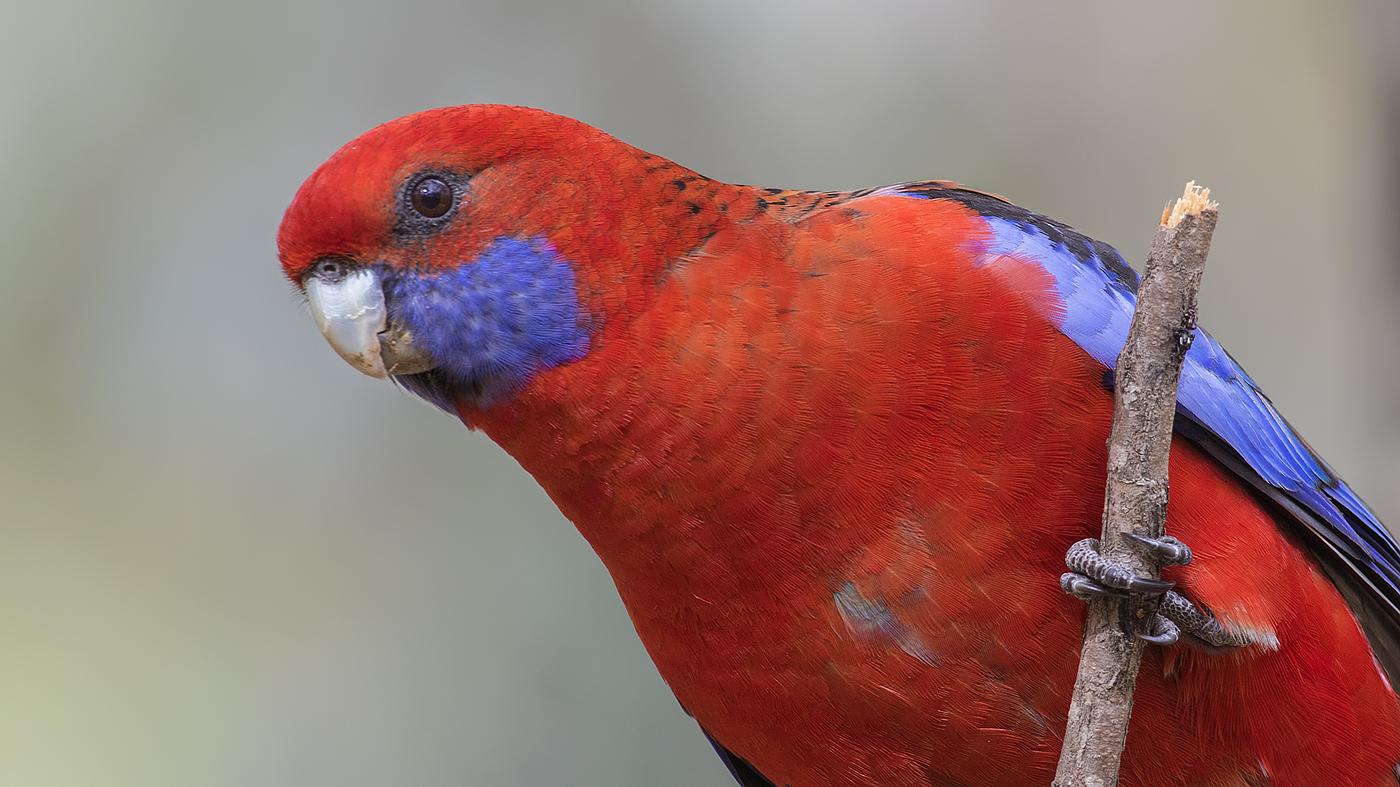 Crimson Rosella (Image ID 35529)