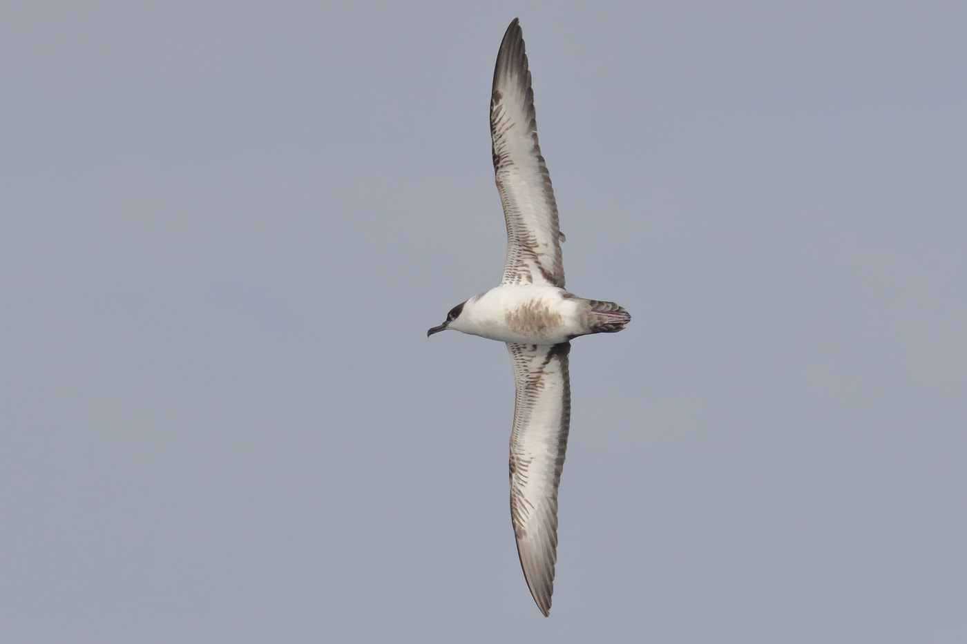 Great Shearwater (Image ID 35498)
