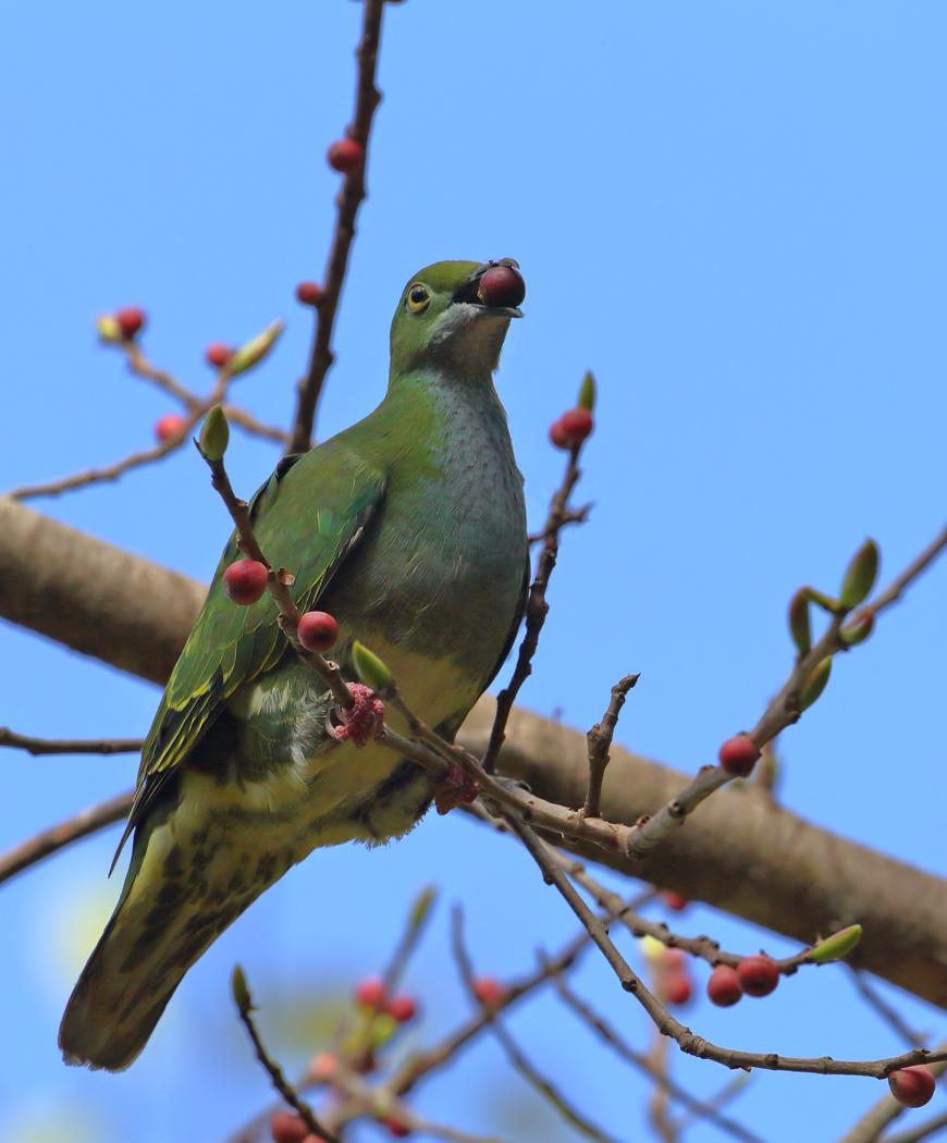 Superb Fruit-Dove (Image ID 35475)