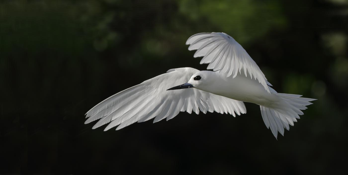 White Tern (Image ID 35227)