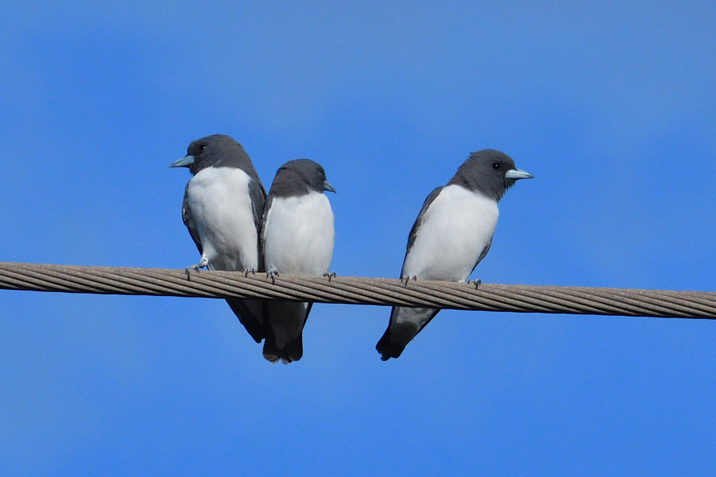 White-breasted Woodswallow (Image ID 35139)