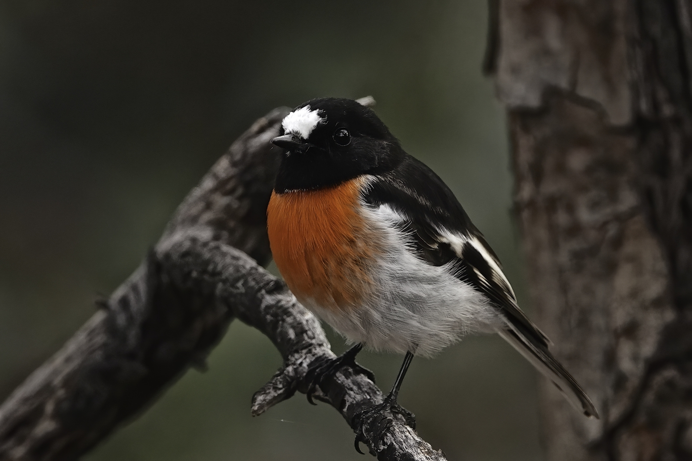 Scarlet Robin (Image ID 35250)