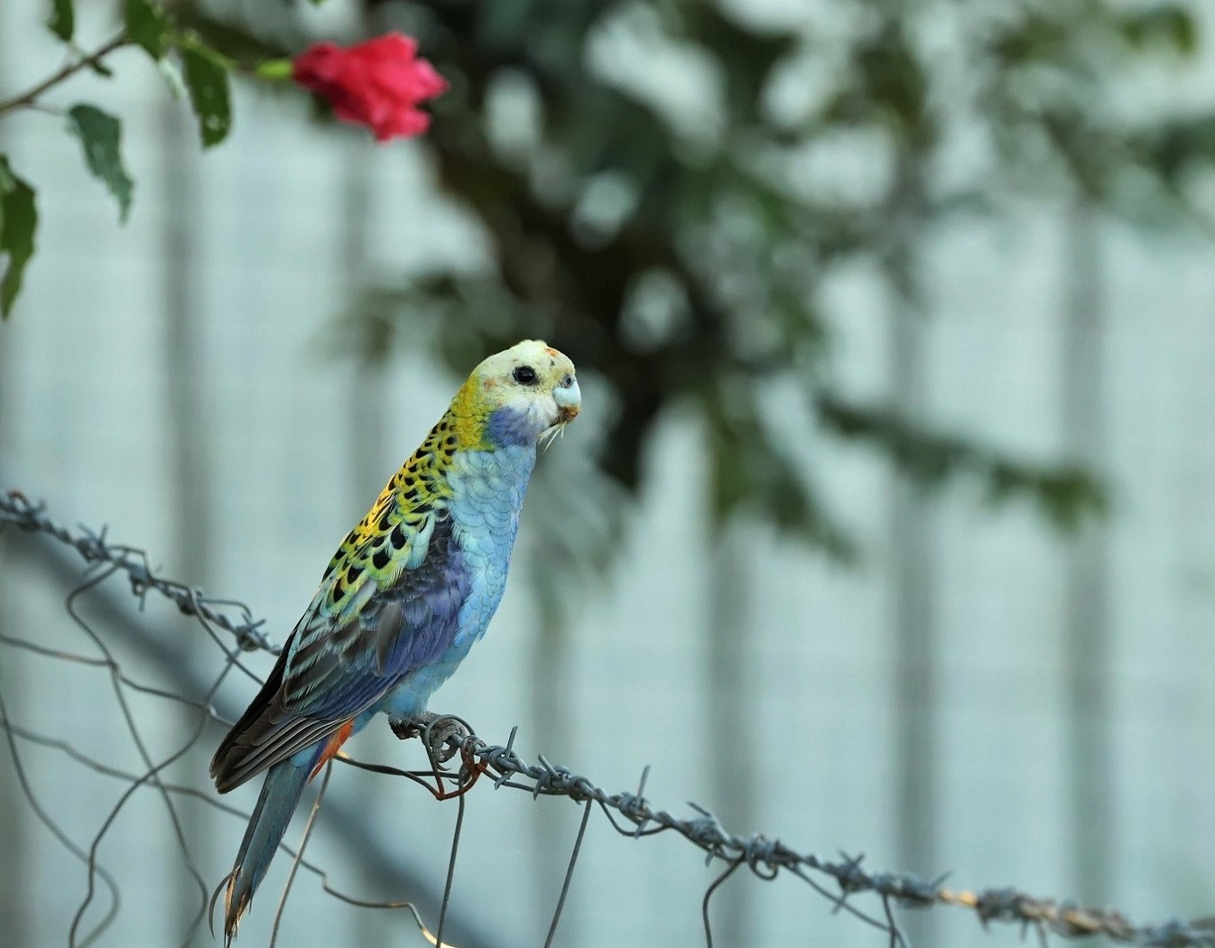 Pale-headed Rosella (Image ID 35295)
