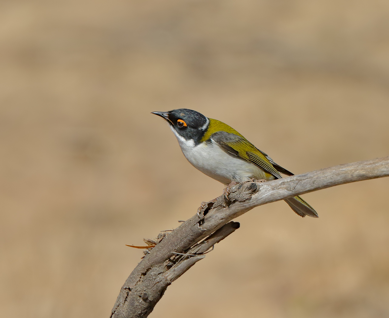 White-naped Honeyeater (Image ID 35160)