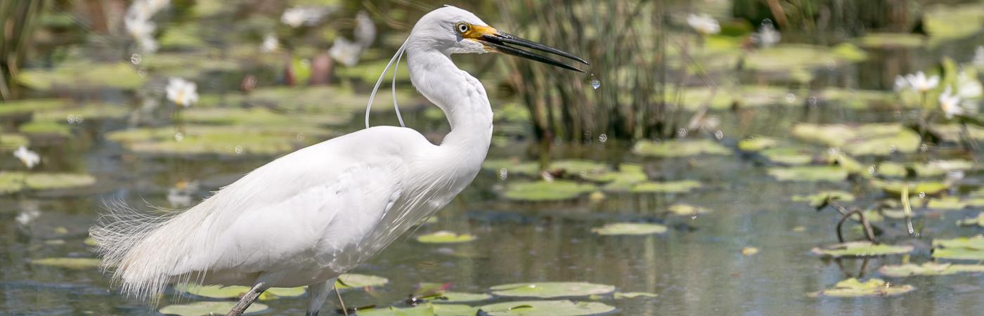 Little Egret (Image ID 35321)