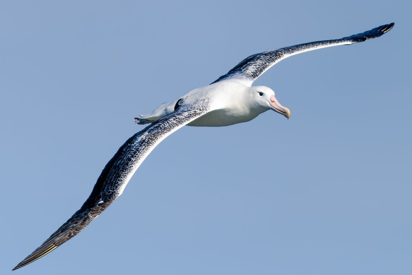 Southern Royal Albatross (Image ID 35144)