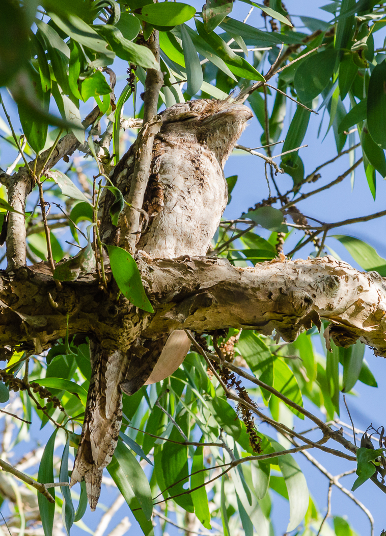 Papuan Frogmouth (Image ID 35099)