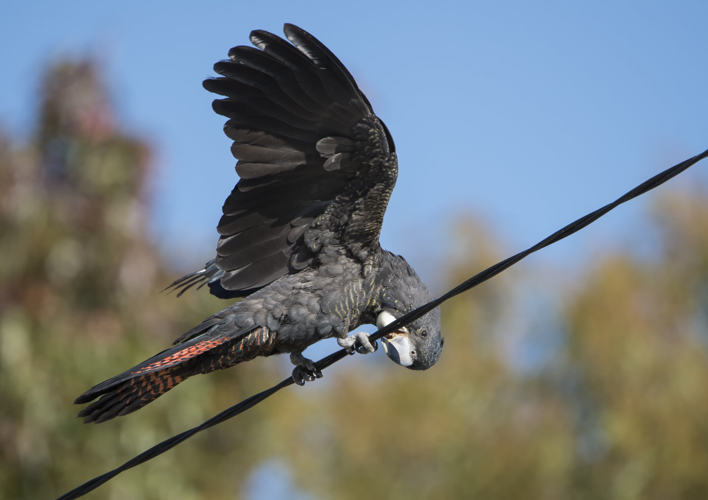 Red-tailed Black-Cockatoo (Image ID 35116)