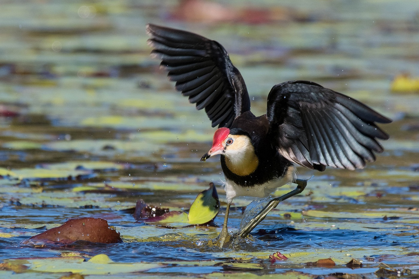 Comb-crested Jacana (Image ID 35472)