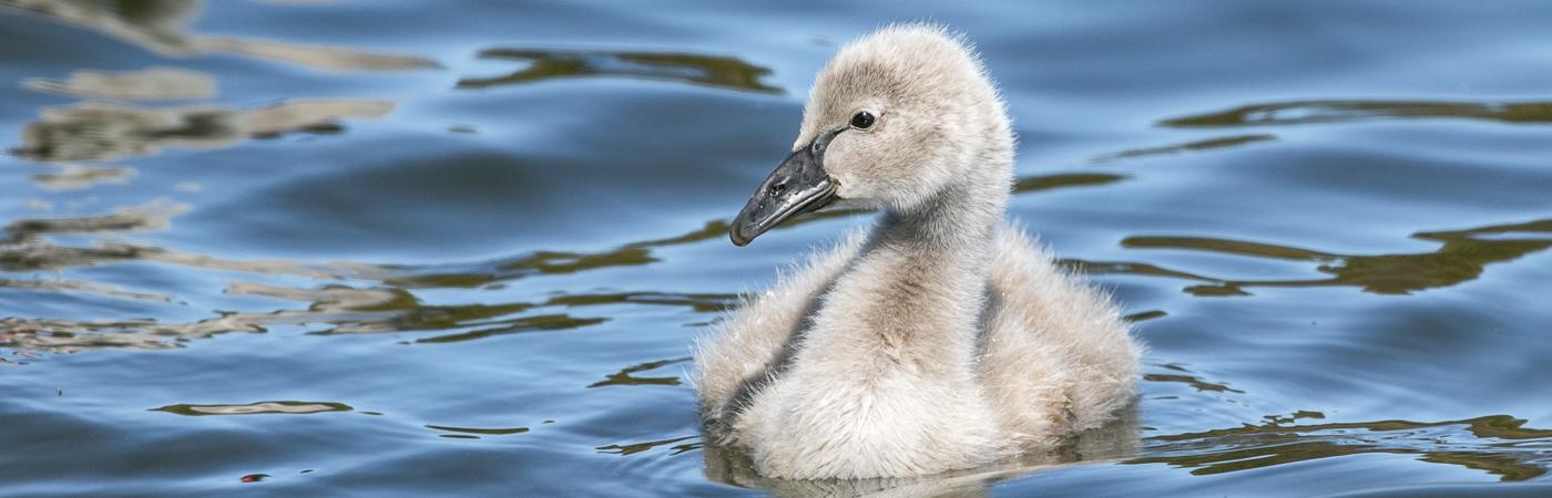 Black Swan (Image ID 35258)