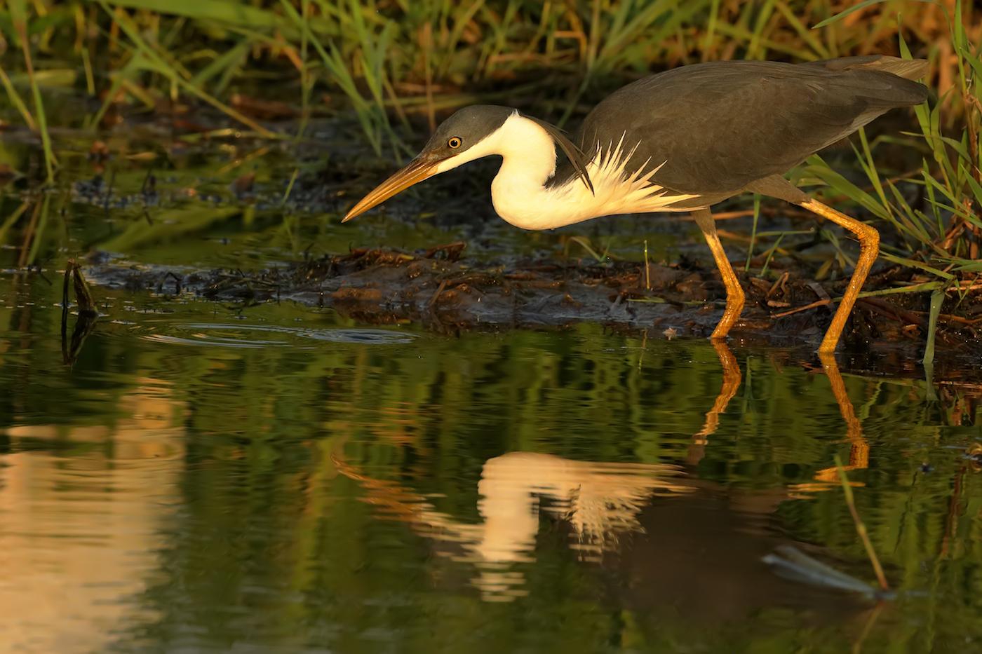 Pied Heron (Image ID 35534)
