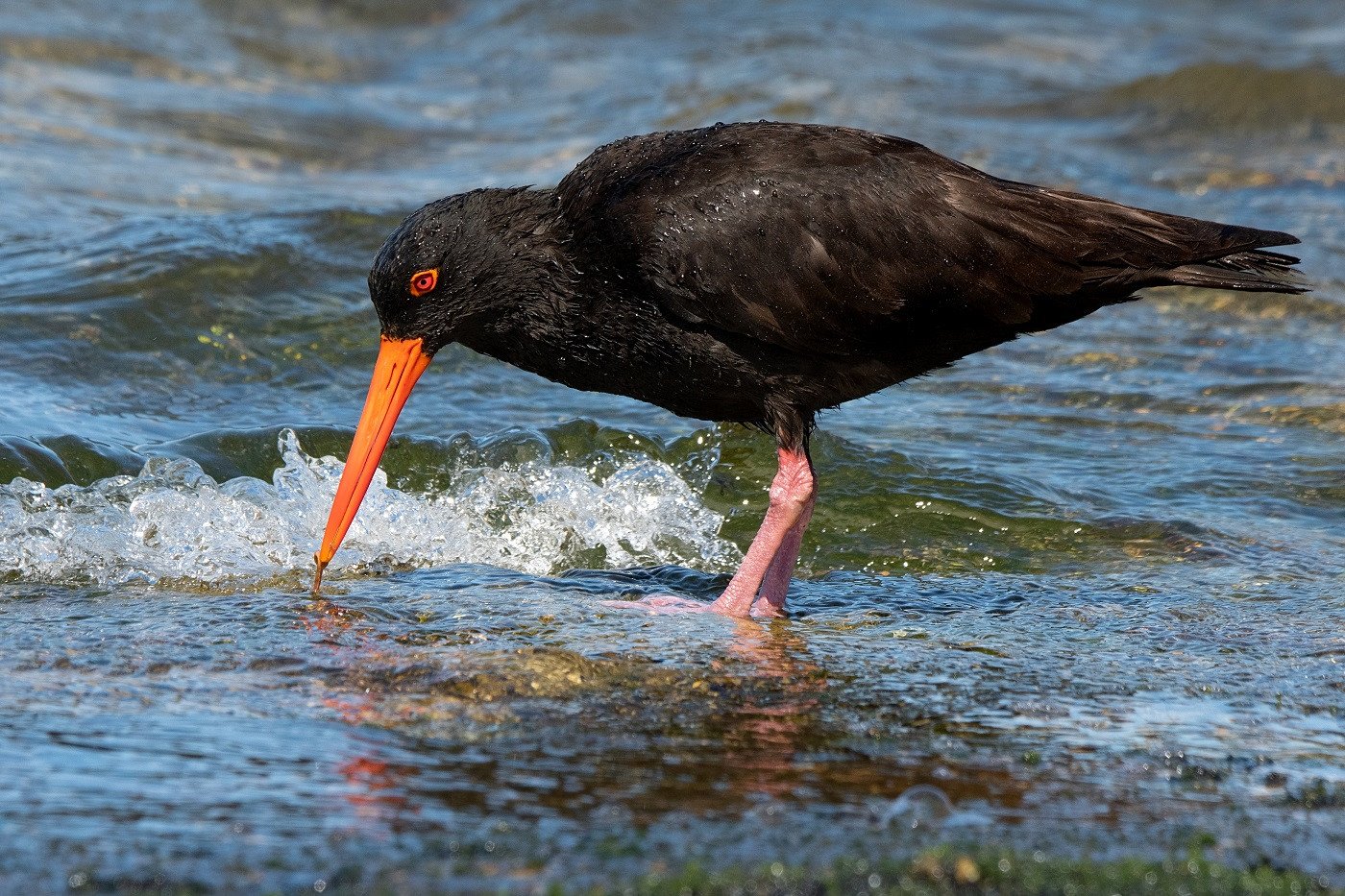 Sooty Oystercatcher (Image ID 35413)