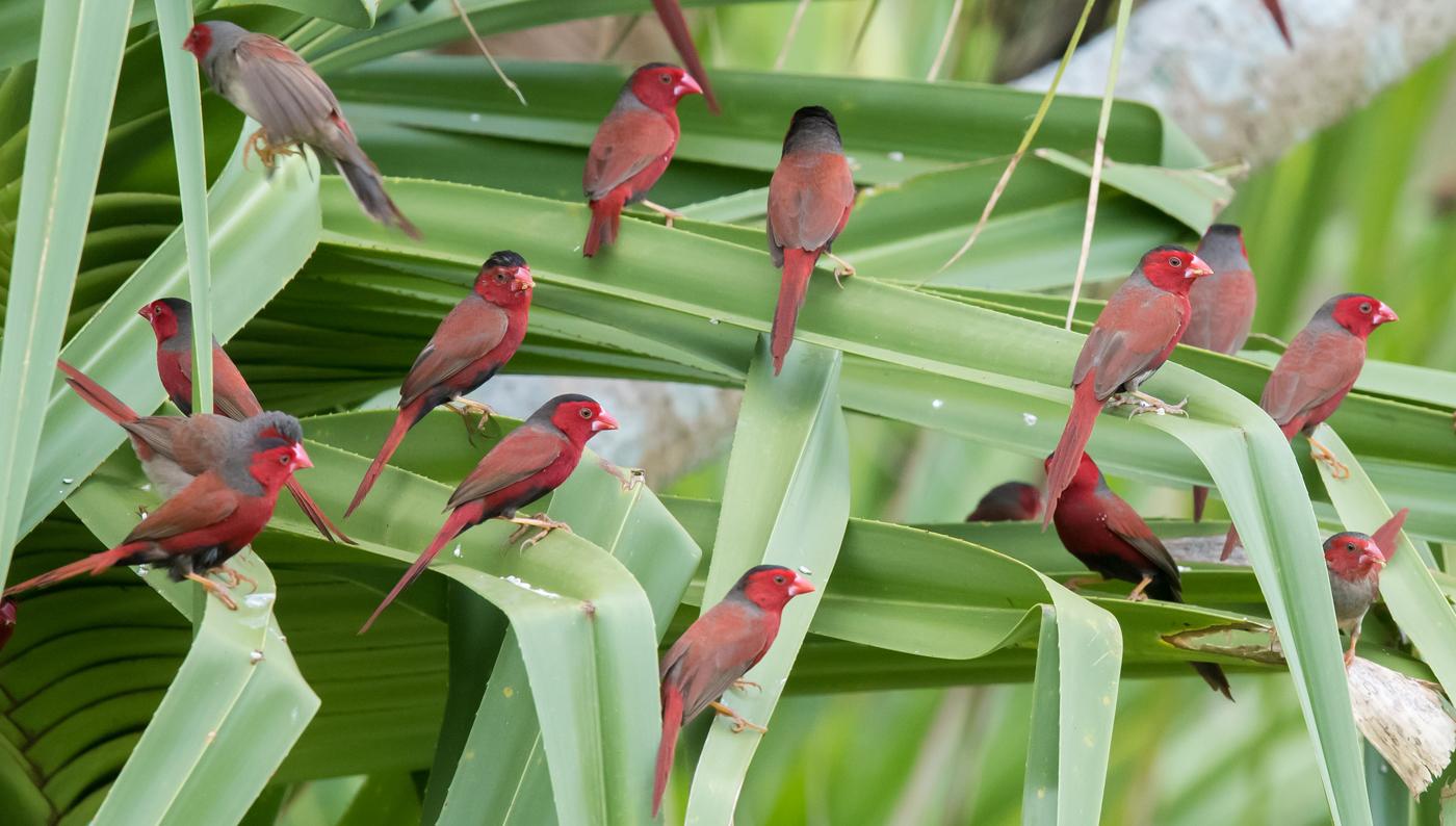 Crimson Finch (Image ID 35165)