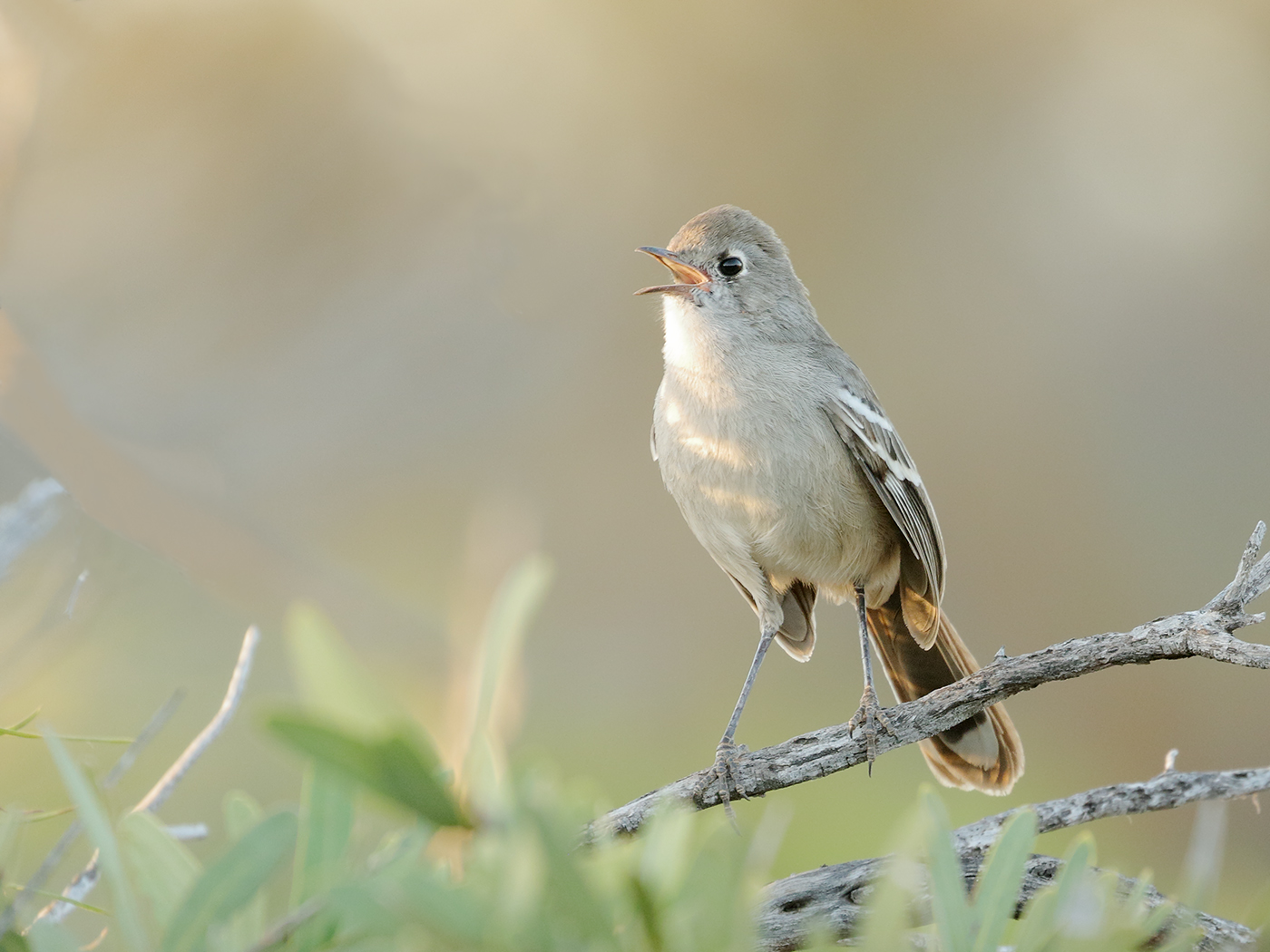 Southern Scrub-robin (Image ID 35284)