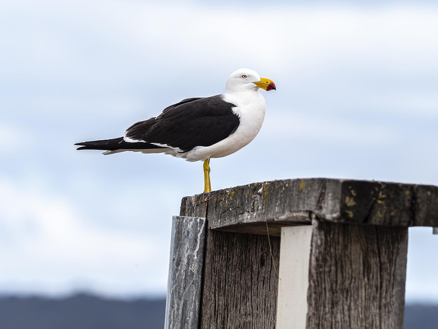 Pacific Gull (Image ID 35417)