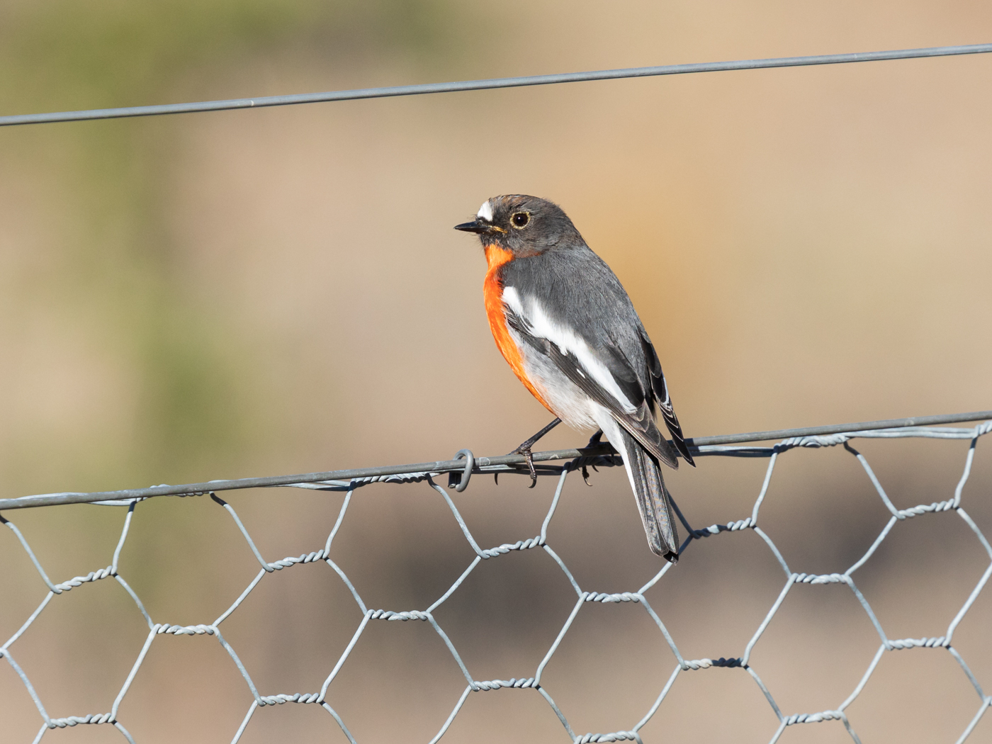 Flame Robin (Image ID 35205)