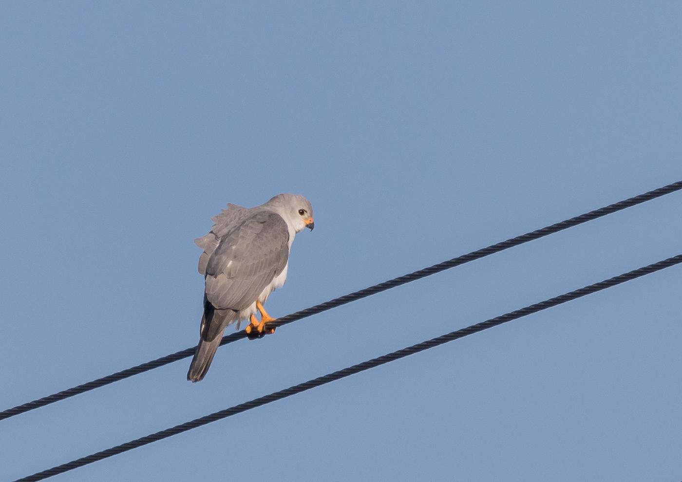 Grey Goshawk (Image ID 35400)