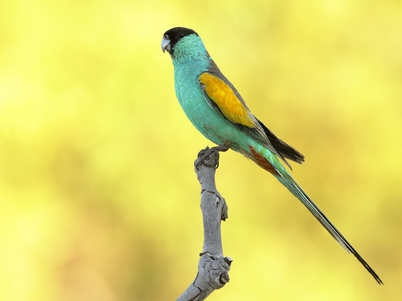 Hooded Parrot (Image ID 35455)
